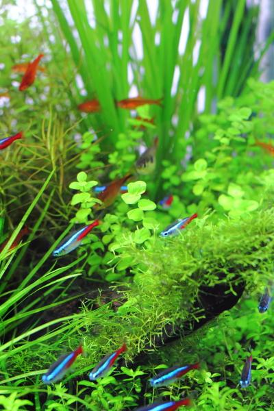 水草の茂みに泳ぐネオンテトラ