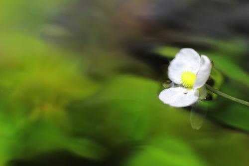 ピグミーチェーンサジタリアの花
