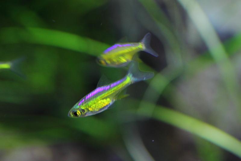 メタリックグリーンに輝くミクロラスボラブルーネオン