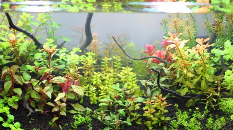 成長の早い水草 赤系3種類を紹介