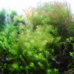 有茎水草を中心としたレイアウト