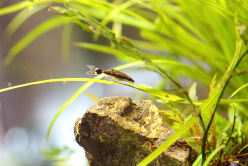 水草の葉のコケを食べるオトシンクルス