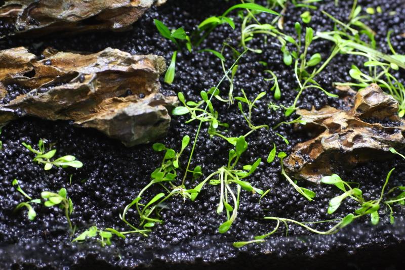 植栽直後 グロッソスティグマ