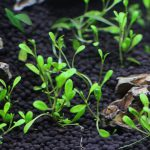 植栽から1日目 グロッソスティグマ