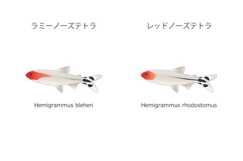 ラミーノーズテトラとレッドノーズテトラの比較