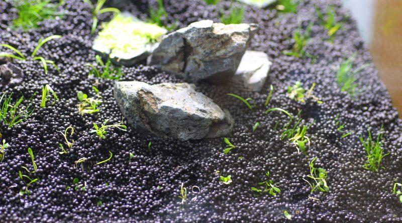 植栽後のグロッソスティグマ