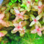 植栽から169日目 ロタラマクランドラ