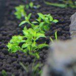 植栽から2日目 ストロギネ レペンス