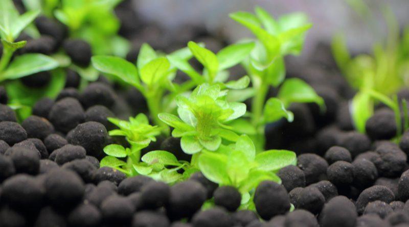 植栽から4日目 ストロギネ レペンス