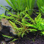 植栽から51日目 ハイグロフィラ ピンナティフィダ
