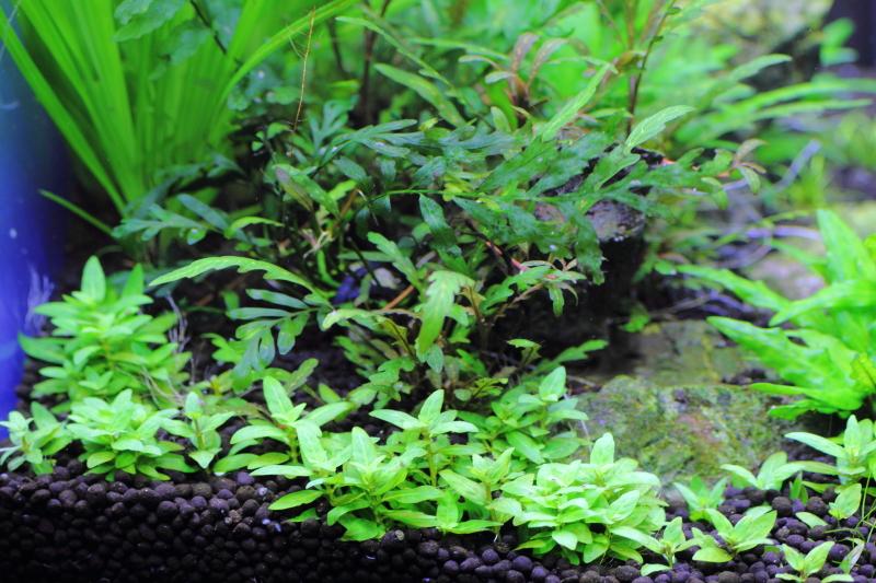 背の高くならない有茎草のトストロギネ レペンス
