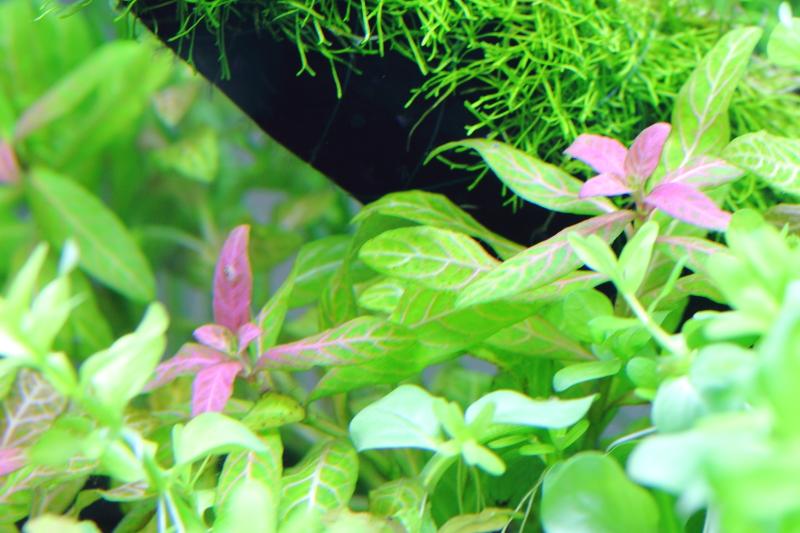 購入から数日でピンク色の葉が展開