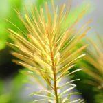 植栽から6日目 ロタラ ワリッキー