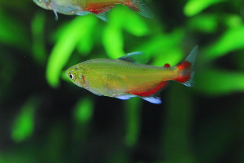 7-緑色の熱帯魚(グリーンファイ...