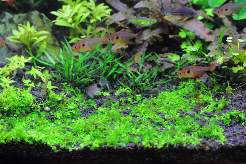 ニューラージパールグラス 繊細な茂みを作る前景用の水草 | 水草動画ブログ