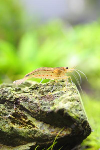 赤い ヤマト ヌマエビ ヤマトヌマエビの寿命は?病気・混泳・繁殖の注意点について解説