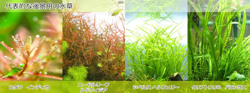 代表的な後景用の水草