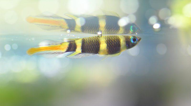60㎝水槽の熱帯魚のその後様子