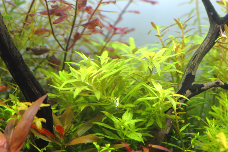 レイアウトの後景に植栽したニューオランダプラント