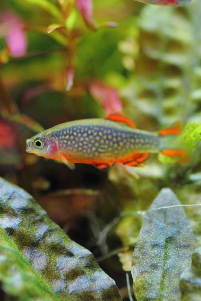 美しいミクロラスボラsp.ハナビ