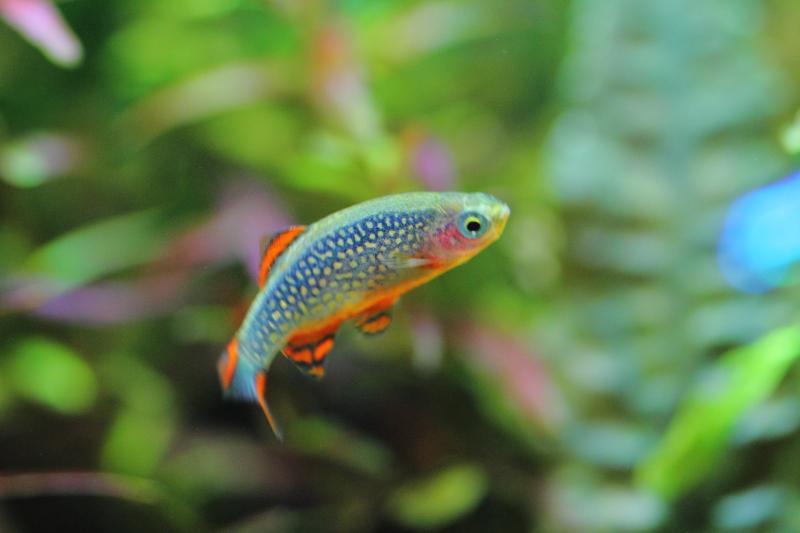 活発に泳ぐミクロラスボラsp.ハナビ