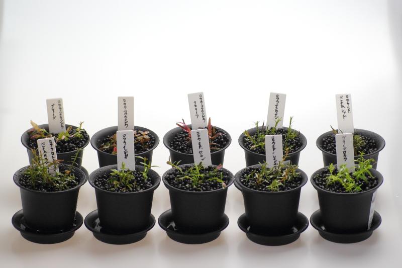 手順4:水槽のロタラをカットして植える