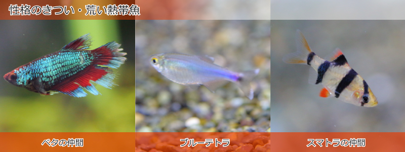 性格のきつい・荒い熱帯魚