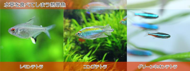 水草を食べてしまう熱帯魚
