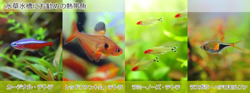 水草水槽におすすめの熱帯魚