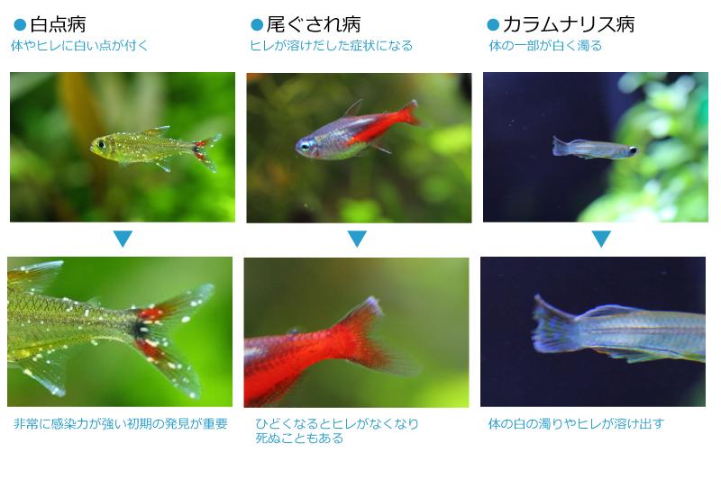 熱帯魚の病気