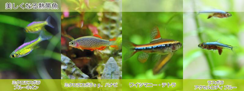 美しくなる熱帯魚