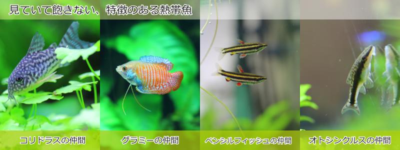 見ていて飽きない、特徴のある熱帯魚