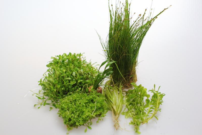 30cm水槽のレイアウトに使う水草5種類