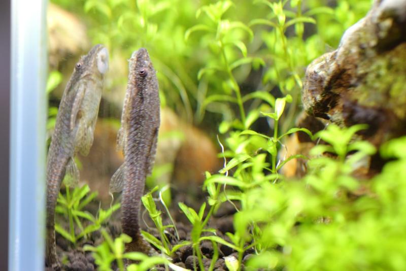 水草水槽で飼育しているオトシンネグロ