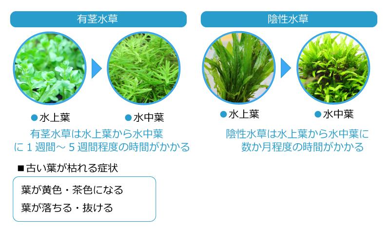 水槽の水に適応する為に葉が枯れる