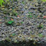 緑色のかび臭い藍藻
