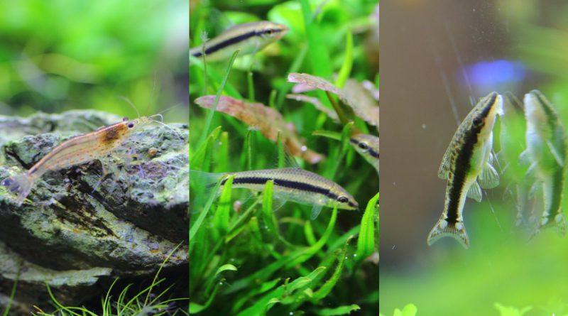 アクアリウム・水草水槽のコケ取りおすすめの生体