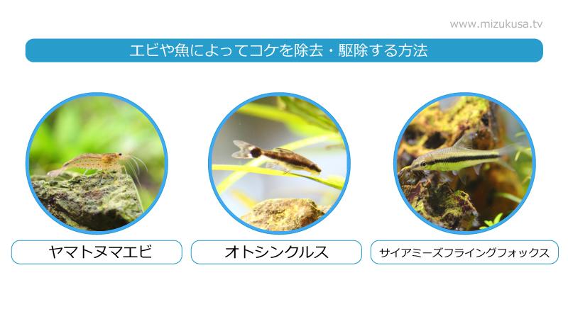 エビや魚によってコケを除去・駆除する方法