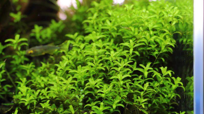 明るいグリーンが美しいパールグラスの茂み