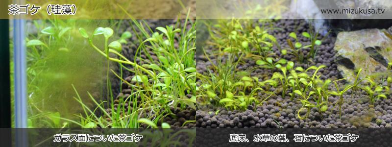 茶ゴケ(珪藻)
