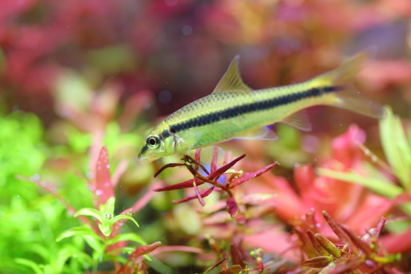 水草の葉についたコケを食べるサイアミーズ・フライングフォックス