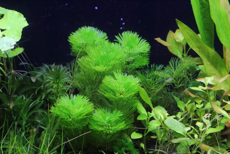緑が美しいカボンバ