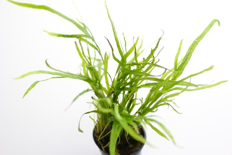 水上葉 ミクロソリウムsp. トライデント