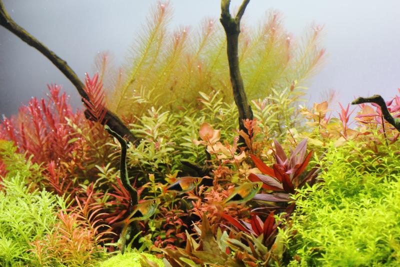 エフイーネナジーの添加と合わせ強い光量とCO2によりに美しい赤味がでた水草たち