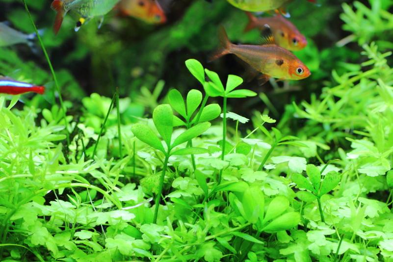 ベトナムクローバー 水景に楽しさを作る可愛い水草
