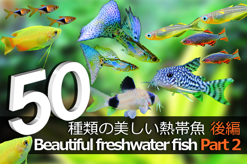 【熱帯魚図鑑】愛着のわく可愛い熱帯魚たち 後編