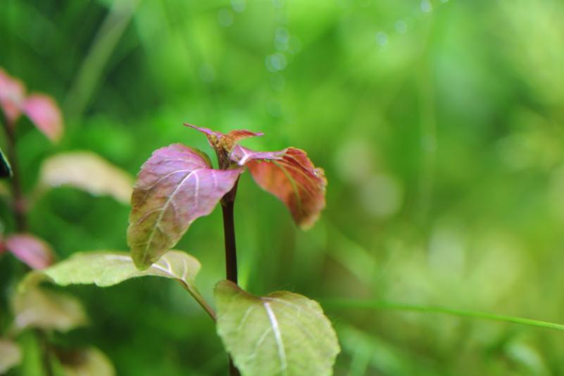 パンタナルヘミグラフィス 観葉植物のような赤系の水草