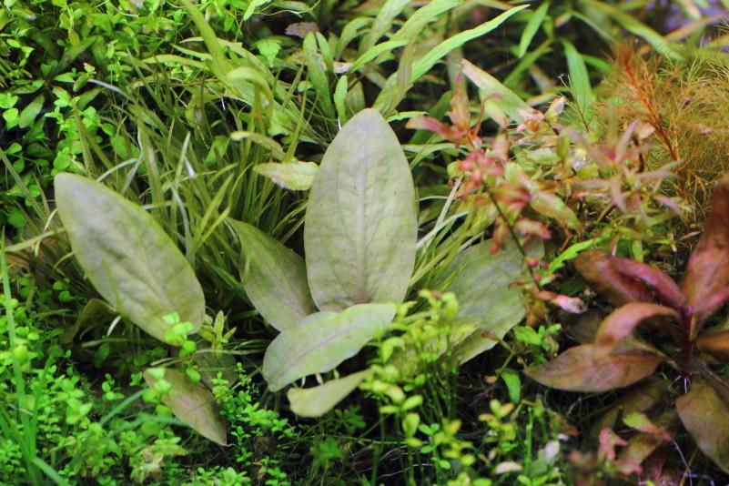 ラゲナンドラ ミーボルディ レッド 広い楕円形の葉が貴重な水草
